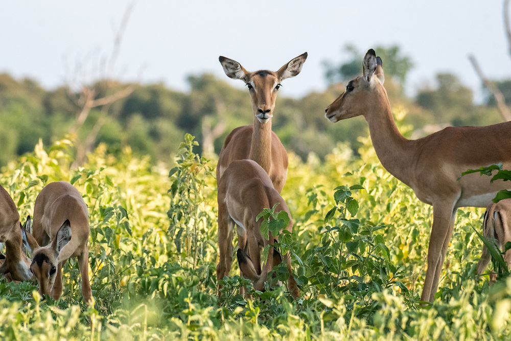Famlily of impalas (Aepyceros melampus) graze the tall vegetation together, Chobe National Park - Botswana