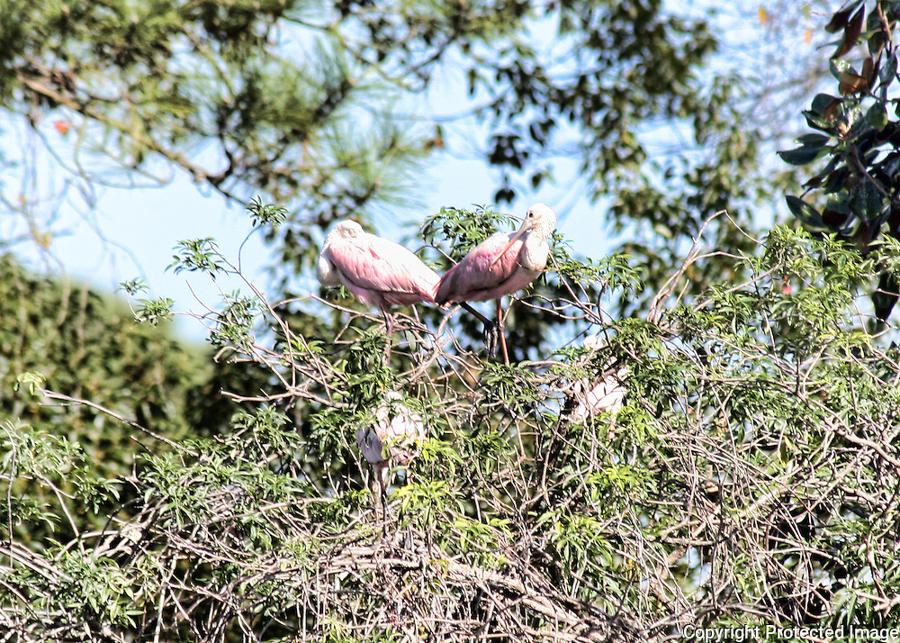 Pink Spoonbills resting on some brush in a Jekyll Island rookery