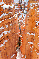 A single spruce pine standing tall amongst the ancient towers of Bryce Canyon.