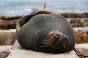 SAN CRISTOBAL, GALAPAGOS ISLANDS, ECUADOR: August 17, 2005 -- GALAPAGOS ISLANDS DAY 1  -- A Galápagos Sea Lion (Zalophus wollebaeki) suns itself on land August 17, 2005 on Day 1 in the Galapagos at San Cristobal...Steve McKinley Photo.