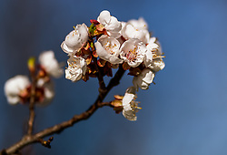 THEMENBILD - in Zweig mit Marillenblüten eines blühenden Marillenbaumes, aufgenommen am 18. April 2018 in Kaprun, Österreich // a branch with apricot blossoms of a flowering apricot tree, Kaprun, Austria on 2018/04/18. EXPA Pictures © 2018, PhotoCredit: EXPA/ JFK
