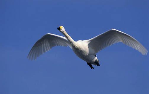 Whooper Swan, (Cygnus cygnus)  Lake Kussharo. Japan.