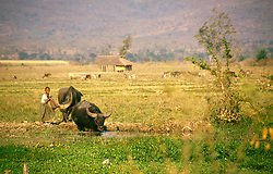 BURMA INLE LAKE MAR95 - A boy guides his two buffaloes into a puddle to cool them down near Inle Lake.. . jre/Photo by Jiri Rezac. . © Jiri Rezac 1995. . Contact: +44 (0) 7050 110 417. Mobile: +44 (0) 7801 337 683. Office: +44 (0) 20 8968 9635. . Email: jiri@jirirezac.com. Web: www.jirirezac.com