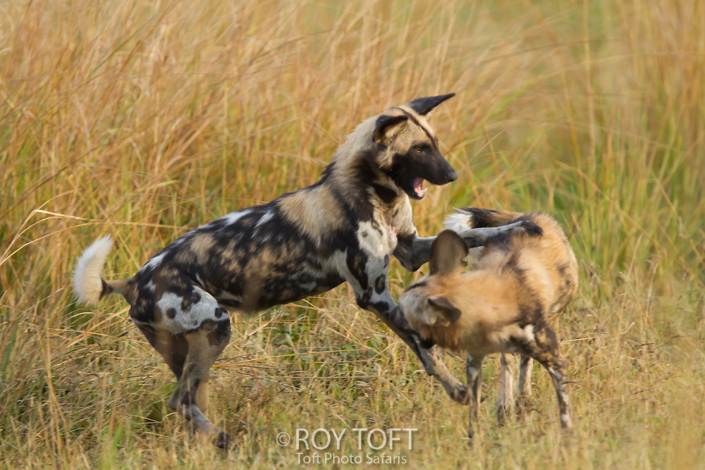 Two cape hunting dogs playing in the tall grass, endangered species, Zambia, Africa