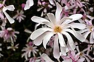 A Star Magnolia (Magnolia stellata) tree flowers in the spring.
