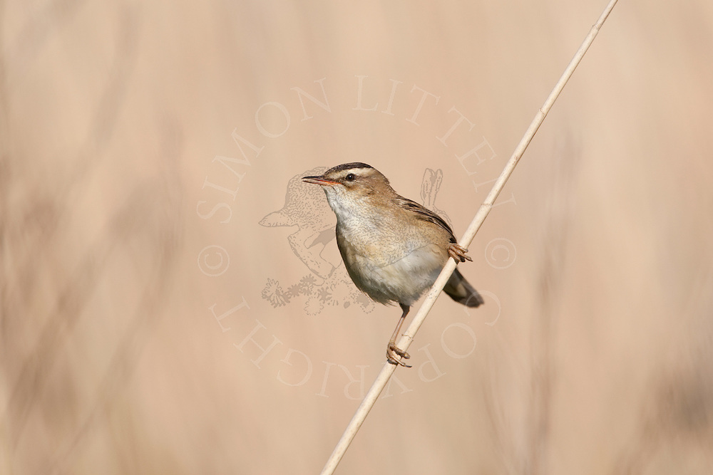 Sedge Warbler (Acrocephalus schoenobaenus) adult, on reed stem, Norfolk, UK.