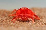 Die Rote Samtmilbe in der Namib Wüste ähnelt ihrer bei uns in Deutschland heimischen Verwandten, die Gartenbesitzern beim Umgraben begegnet, ist aber um einiges größer.  | Giant Red Mite