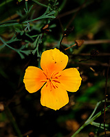 California Poppy Flower. Image taken with a Fuji X-H1 camera and 80 mm f/2.8 macro lens + 1.4x teleconverter