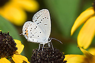 Eastern Tailed-Blue Hairstreak, Everes comyntas, Dining On Black Eyed Susan Nectar