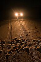 Car headlights spotlight the train of a female turtle who has come ashore on a remote Cape York beach to lay her eggs.