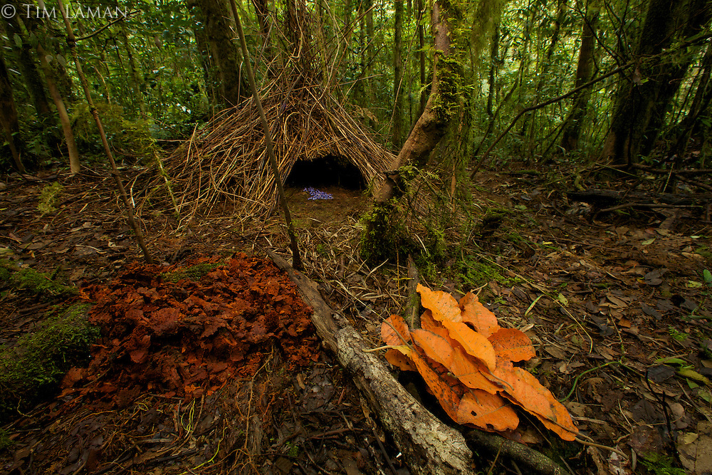 Vogelkopf Bowerbird (Amblyornis inornatus) bower decorated with orange leaves, dark orange fungi, and blue berries.