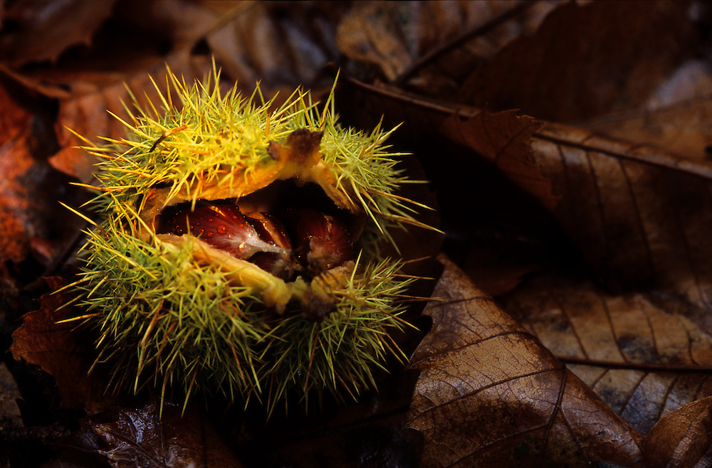 Some chestnuts, just fallen from a tree, still with the spines. In Autumn, it's very common to see fallen chestnuts while hiking in the region of Montesinho, in the north of Portugal