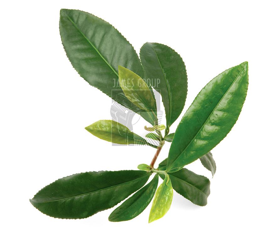 Green tea leaves on living tea bush