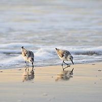 A pair of sanderlings (Caladris alba) feed in the surf just after sunrise, Chincoteague National Wildlife Refuge, Assateague Island, Virginia.