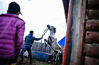 Young men try to break a horse in Tsagaannuur, Mongolia.