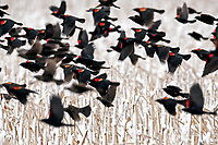 A group of Red Winged Blackbirds travel together in a corn stubble field on a winters day.