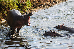 A young hippopotamus (Hippopotamus amphibious) displaying and vocalizing to other young hippos in the water, Masai Mara, Kenya