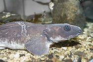 Greater eelpout (Lycodes esmarki). Location : Polaria, Tromso, Norway