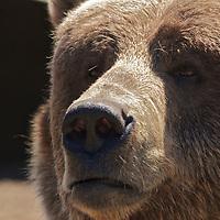 Bored Bear