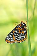 Baltimore Checkerspot, Euphydryas phaeton, Lapeer Co., Michigan