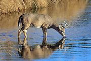 Whitetail buck drinking water in a stream in fall habitat