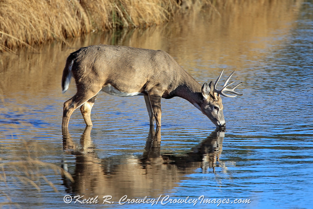Whitetail buck drinking water in a stream in fall habitat