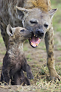 Spotted Hyena<br /> Crocuta crocuta<br /> 8-10 week old cub playing with its mother<br /> Masai Mara Conservancy, Kenya