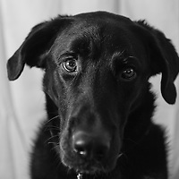 Otis (Lab / Mix) being still for a very moments...