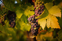 Purple grapes ripening on the vine with fall colors at sunset. Sonoma County, California, USA.
