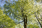 Beech tree, Fagus sylvatica, the European beech or common beech within Bruern Wood in The Cotswolds, UK
