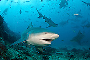 Bull Sharks, Carcharhinus leucas, gather during a shark dive at Shark Reef Marine Reserve offshore Pacific Harbor, Viti Levu, Fiji.