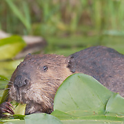 North American Beaver (Castor canadensis) in Washington Park Arboretum, Seattle, Washington. Photo by William Byrne Drumm.
