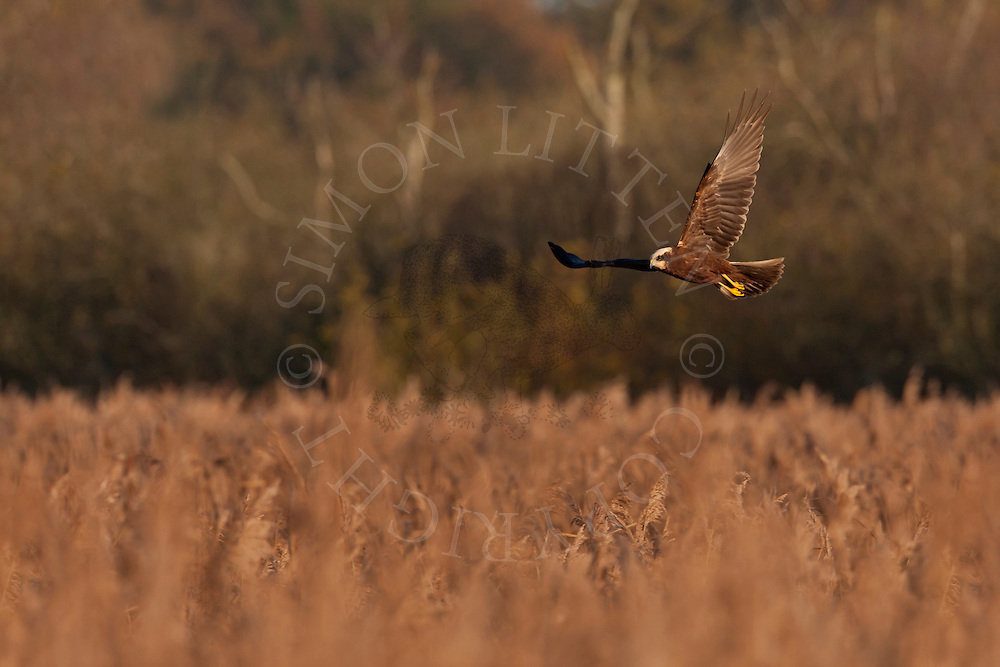 Marsh Harrier (Circus aeruginosus) juvenile hunting over reedbed, Norfolk, UK.