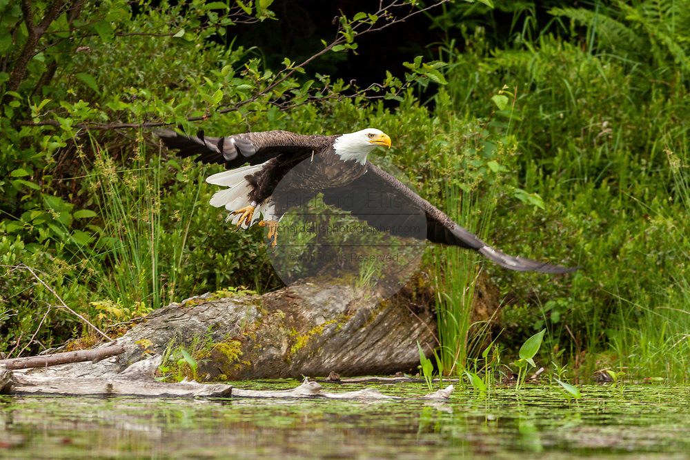 An American Bald Eagle swoops above the water to catch a fish in Trout Lake in the Northwoods village of Boulder Junction, Wisconsin.