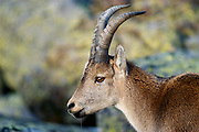 Spanish Ibex (Capra pyrenaica). Young male.<br /> Sierra de Gredos Mountains range. Avila province. Spain.