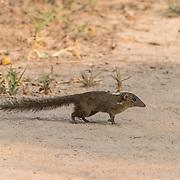 The northern treeshrew (Tupaia belangeri) is a treeshrew species native to Southeast Asia. Taken in Phu Khieo Wildlife Sanctuary.