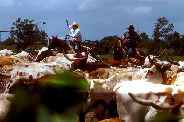 two men herding a group of longhorn cattle