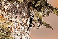 This male Downy Woodpecker searches the trunk of this pine tree for wood boring insects.