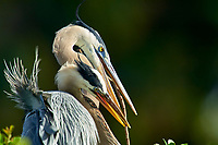 Great Blue Heron Ardea herodias male passing nest stick to mate Wakodahatchee Wetlands Delray Beach Florida USA