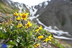 Arnica blooms in the alpine, Kluane National Park, Yukon