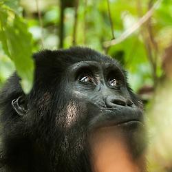 Mountain gorilla in Bwindi Impenetrable forest, Uganda.