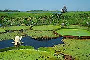 Victoria amazonica (previously Victoria regia), giant water lily in lower Amazon River, Para, Brazil,