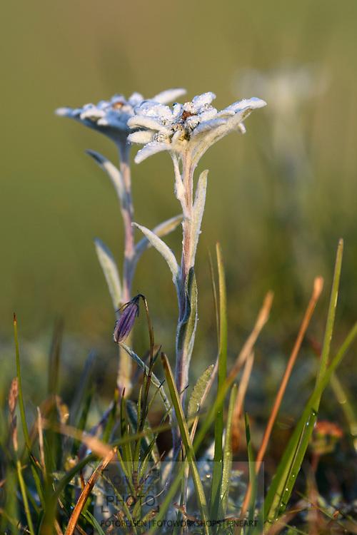 Alpen-Edelweiss (Leontopodium nivale) im Val Spadlatscha, Filisur, Parc Ela, Graub&uuml;nden, Schweiz<br /> <br /> Edelweiss (Leontopodium nivale) in the Val Spadlatscha, Filisur, Parc Ela, Grisons, Switzerland