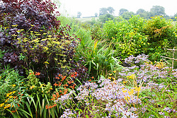 Fennel with Cotinus coggygria Purpureus Group, crocosmia and Aster 'Little Carlow' at Glebe Cottage. Foeniculum vulgare