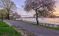 Riverside Park on the Upper West Side, crab apple trees, Spring, Manhattan, New York City, New York, USA designed by Frederick Law Olmsted