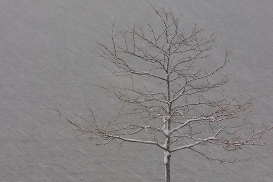 Windy and hard snow hitting a solitary tree.