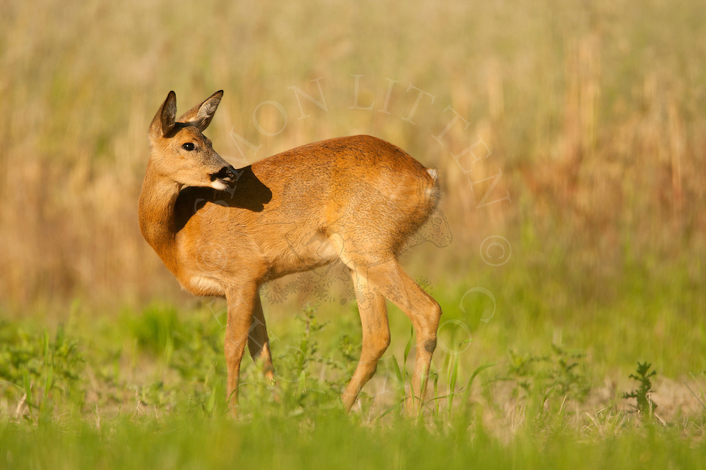 Roe Deer (Capreolus capreolus) doe in set-aside field, Norfolk, UK.