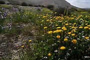 flowering Yellow Chrysanthemum bush in the Negev desert, Israel