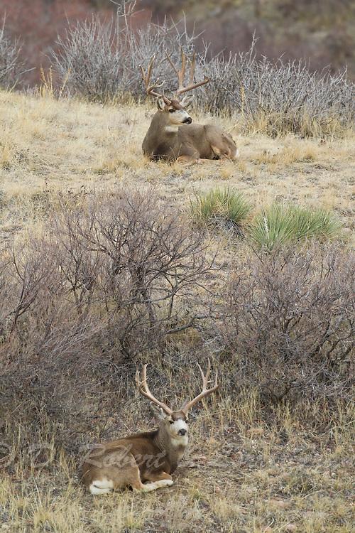 Pair of trophy mule deer bucks (Odocoileus hemionus)bedded on hillside