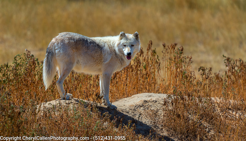 Arctic Wolf standing guard on top of a rock